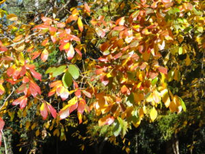 Image of autumn leaves, black tupelo tree