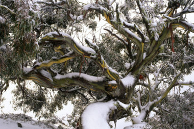 Of grief and the snow gum