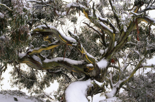 Image of snow gum in Victorian high country, Australia