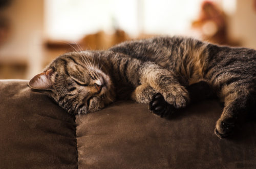 Image of sleeping cat on brown sofa