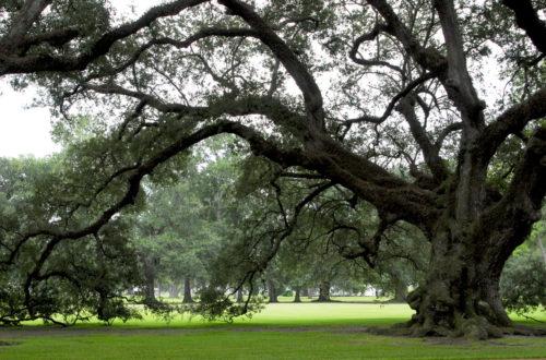 Image of old spreading oak tree